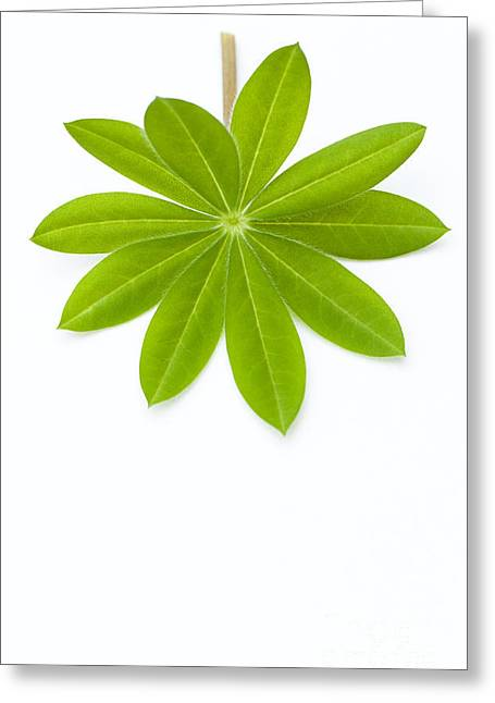 Lupin Leaf Greeting Card by Anne Gilbert