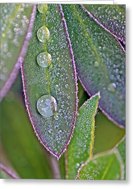 Lupin Leaves And Waterdrops Greeting Card