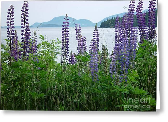 Lupine At Sorrento Greeting Card