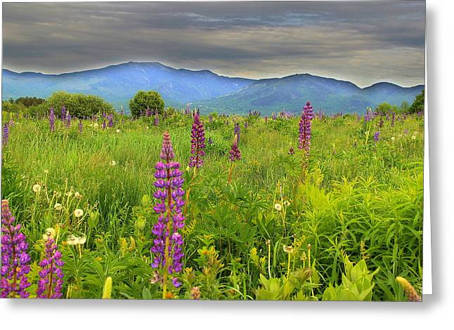 Lupine Breeze  Greeting Card by Andrea Galiffi
