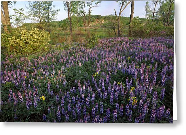 Lupine Indiana Dunes National Lakeshore Greeting Card by Tim Fitzharris