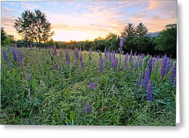 Lupine Morning Greeting Card by Andrea Galiffi