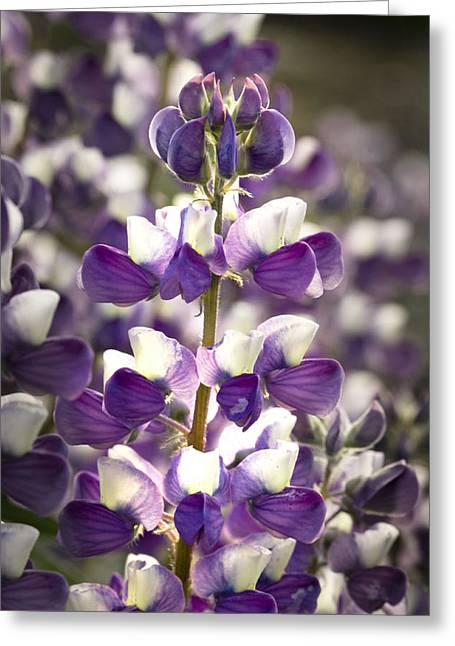 Greeting Card featuring the photograph Lupine Wildflowers by Sonya Lang