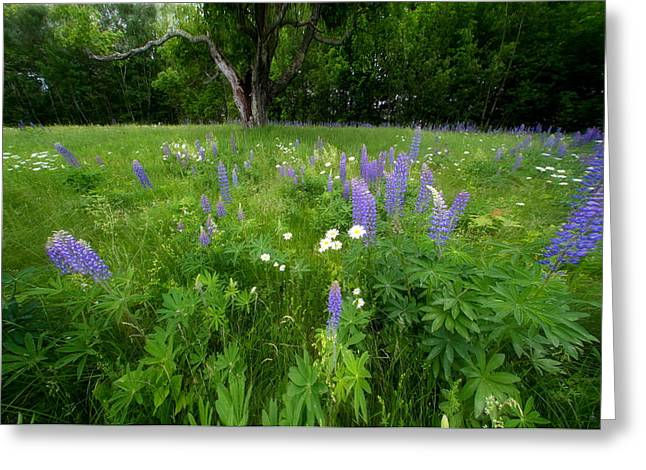 Lupines And Wild Flowers Greeting Card by Andrea Galiffi