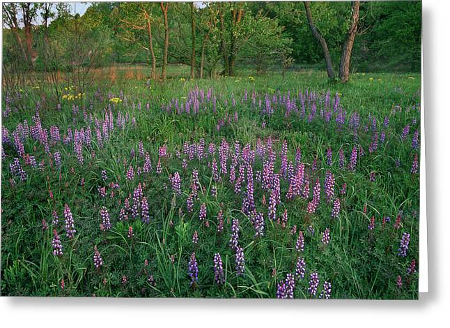 Lupines At West Beach, Indiana Dunes Greeting Card