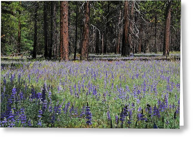Lupines In Yosemite Valley Greeting Card by Lynn Bauer