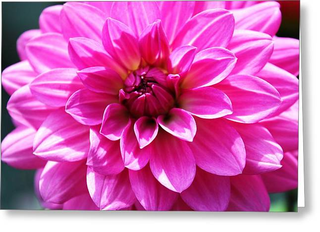 Greeting Card featuring the photograph Lush Pink Dahlia by Judy Palkimas
