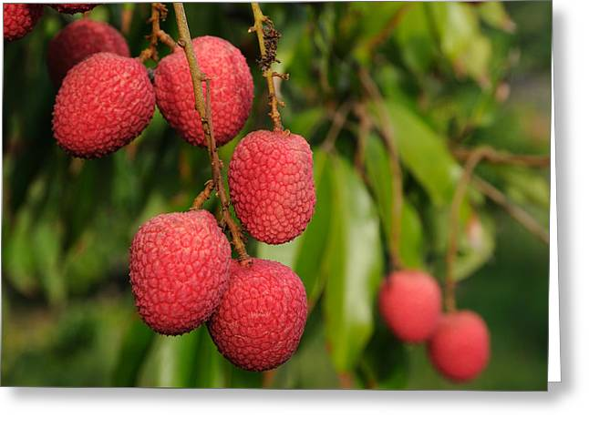 Lychee Fruit On Tree Greeting Card