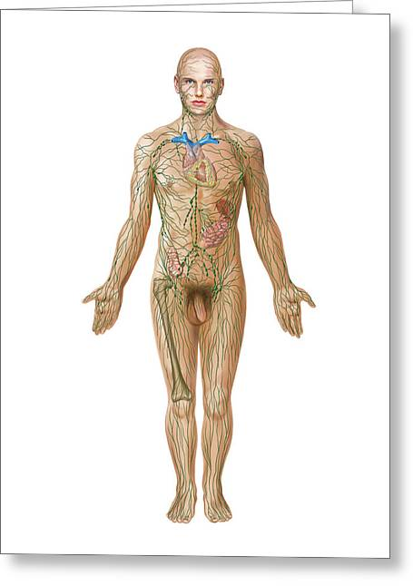 Lymphoid System Greeting Card by Asklepios Medical Atlas