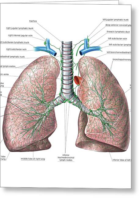 Lymphoid System Of The Lungs Greeting Card by Asklepios Medical Atlas