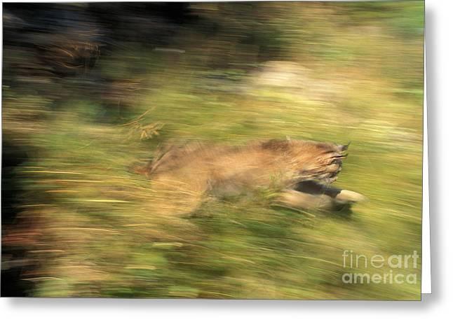 Lynx Felis Lynx Greeting Card by Ron Sanford