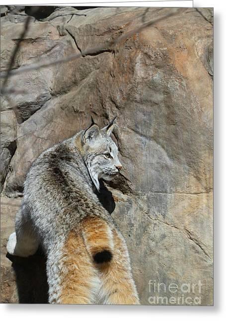 Lynx  Greeting Card by Jimmy Ostgard