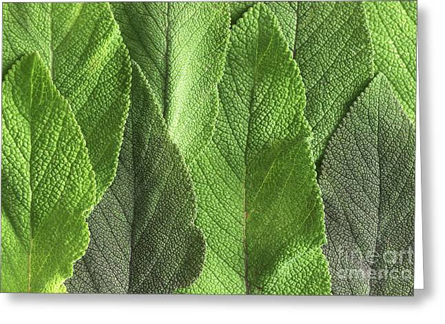 M7500790 - Sage Leaves Greeting Card by Spl