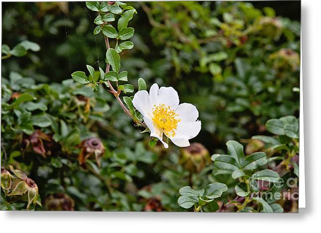 Macartney Rose Greeting Card