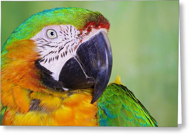 Macaw - Ara Greeting Card by Nature and Wildlife Photography
