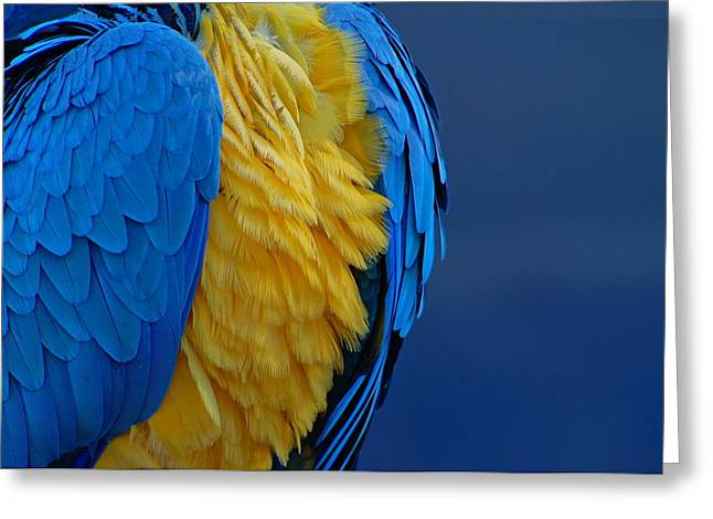 Macaw Blue Yellow Blue Greeting Card by Colleen Renshaw