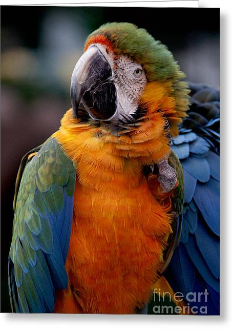 Macaw Greeting Card by Ivete Basso Photography