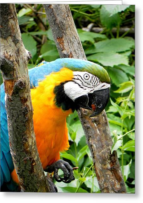 Macaw Greeting Card by Michael Caron