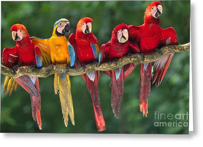 Macaws Greeting Card by Frans Lanting MINT Images