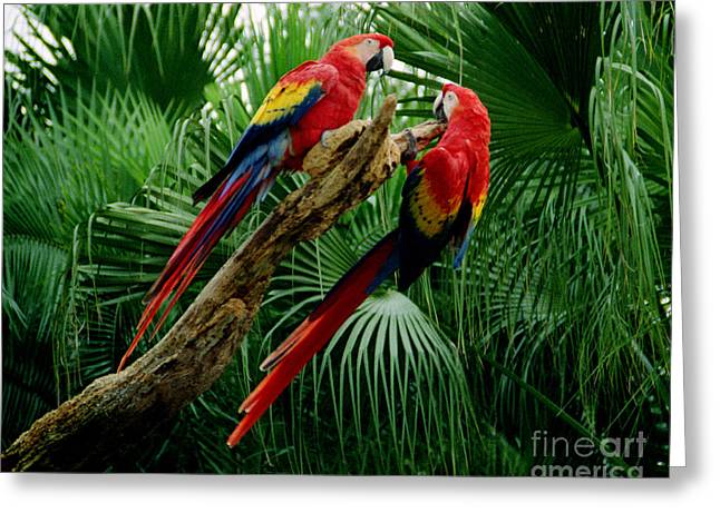 Macaws Greeting Card