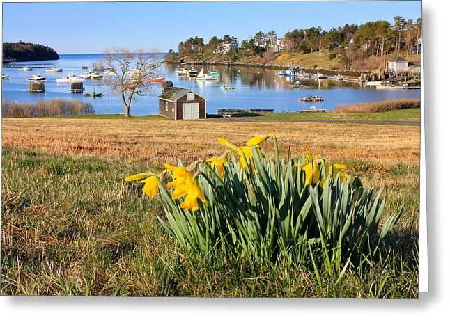 Mackerel Cove Daffodils Greeting Card by Benjamin Williamson