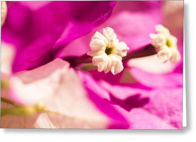 Macro Bougainvillea Bloom 2 Greeting Card