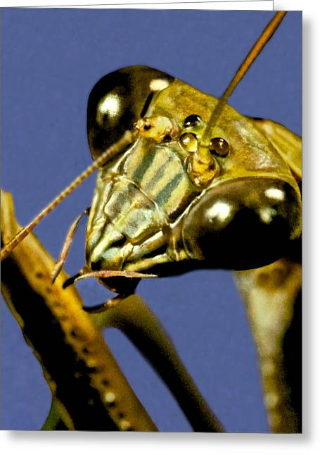 Macro Closeup Of The Chinese Praying Mantis Cleaning Himself After Eating A Live Cricket Greeting Card by Leslie Crotty