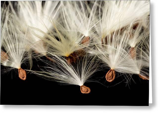 Macro Photo Of Swamp Milkweed Seed Pod Greeting Card by Steven Heap