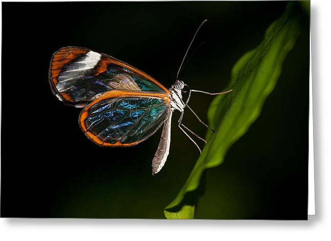 Greeting Card featuring the photograph Macro Photograph Of A Glasswinged Butterfly by Zoe Ferrie