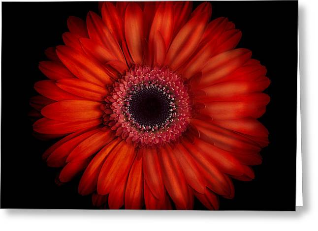Macro Photograph Of An Red And Orange Gerbera Daisy Against A Black Background Greeting Card