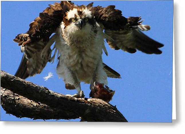 Mad Osprey Greeting Card by Roger Becker