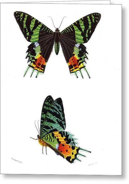 Madagascan Sunset Moth Greeting Card by Collection Abecasis