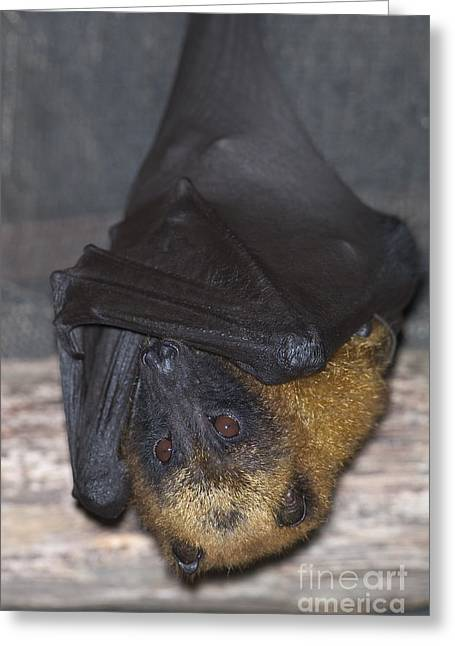 Madagascar Flying Fox Greeting Card by Gregory G. Dimijian