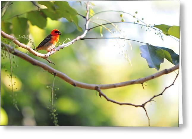 Madagascar Fody Aka Red Cardinal Fody Greeting Card