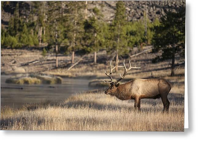 Madison River Elk Greeting Card