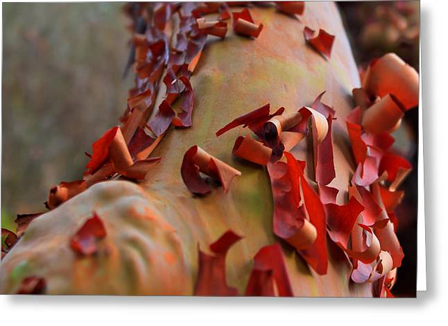 Madrone Tree Greeting Card by Brian Xavier