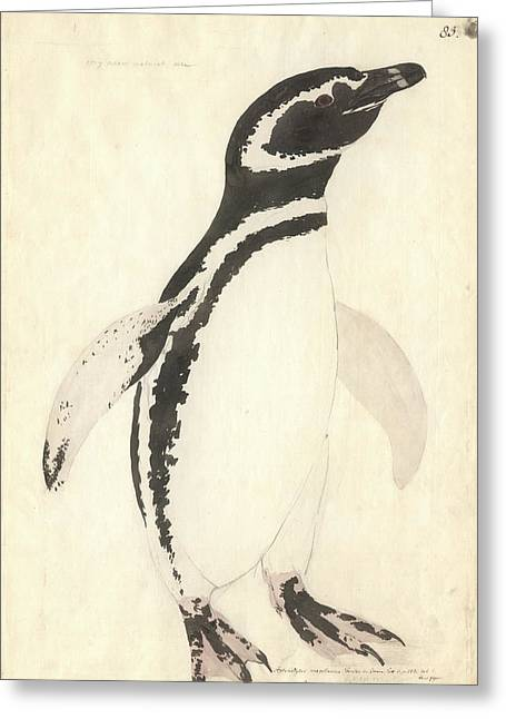 Magellanic Penguin Greeting Card