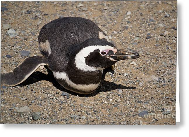 Magellanic Penguin On Its Belly Greeting Card