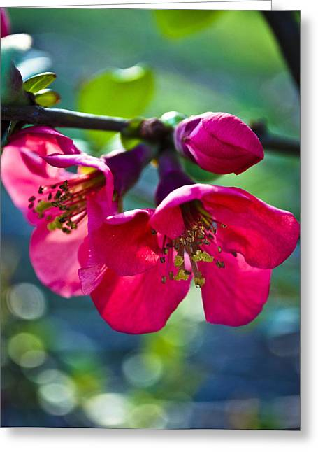 Magenta Blooms Greeting Card