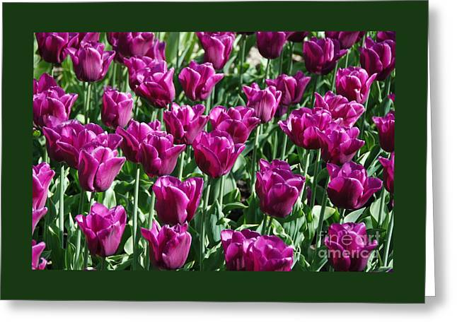 Greeting Card featuring the photograph Magenta Tulips by Allen Beatty
