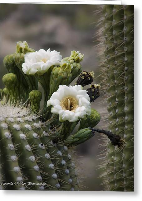 Greeting Card featuring the photograph Magnificant Bloom Of The Saguaro by Lucinda Walter