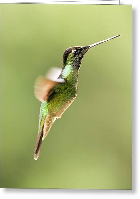 Magnificent Hummingbird In Flight Greeting Card
