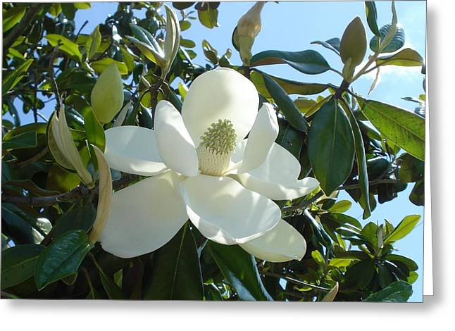 Magnificent Magnolia Greeting Card by June Holwell