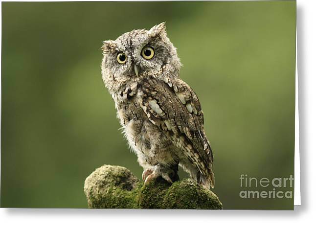 Magnifique  Eastern Screech Owl Greeting Card by Inspired Nature Photography Fine Art Photography