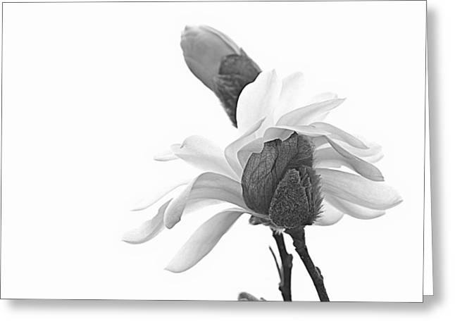 Magnolia Bloom 1 Greeting Card by Tammy Schneider