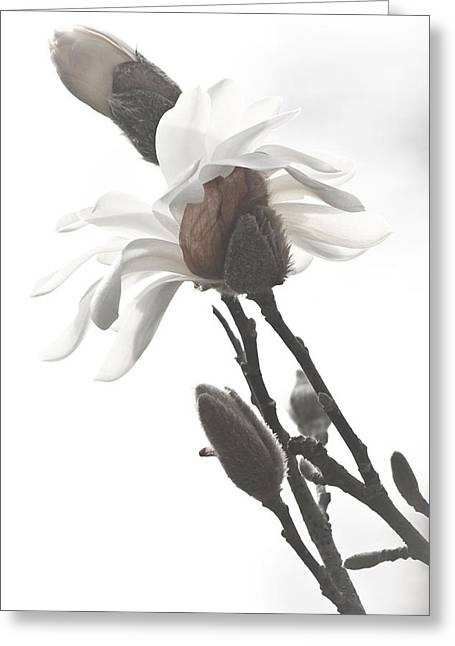 Magnolia Bloom Greeting Card by Tammy Schneider
