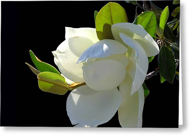 Magnolia Blossom Greeting Card by Ginny Schmidt