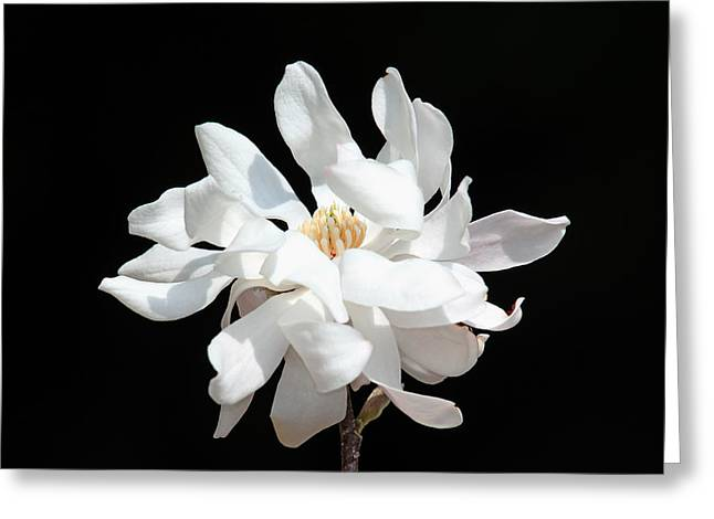 Magnolia Blossom Greeting Card by Trina  Ansel
