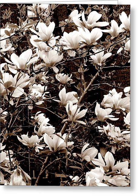'magnolia Blossoms' Greeting Card