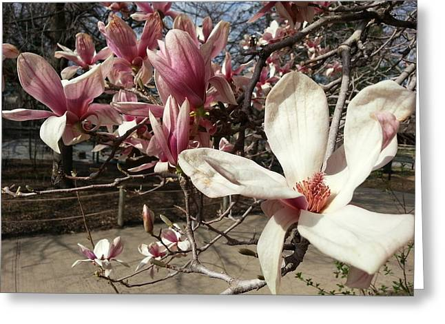 Greeting Card featuring the photograph Magnolia Branches by Caryl J Bohn
